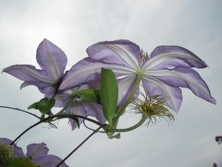 Clematis From Underneath | by Tobyotter