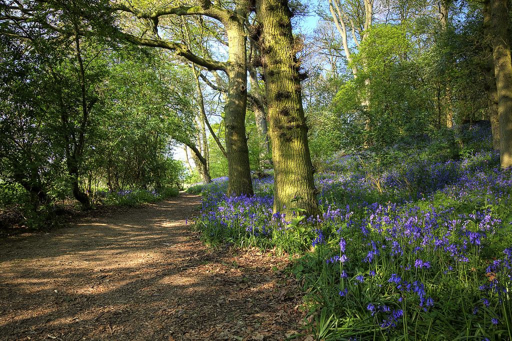 Bluebells at Coughton Court