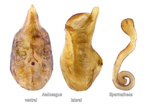 Dinaraea aequata (Erichson, 1837) Genital | by urjsa