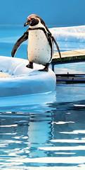 P-P-P-Penguin | by Hexagoneye Photography