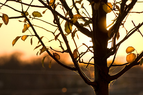 tree silhouette sunrise dof spiderweb autumnleaves backlit twop warmglow rightplacerighttime earlymorninglight nikond200 foxrivervalley stcharlesil unexpectedpleasure alongthefoxriver flickrswarmlighting afhht