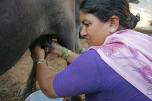 May/2007 - Wife of urban dairy farmer Anan Thainan, Lakshmi Thainan, milks one of their buffaloes (photo credit: ILRI/Stevie Mann).