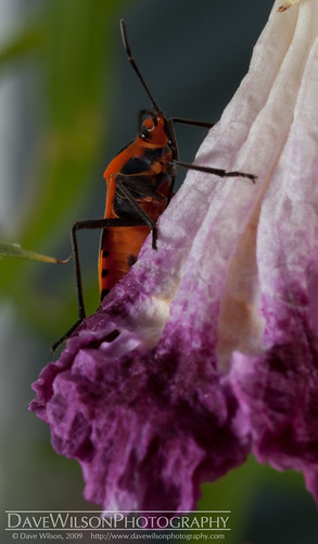 Beetle on Flower | by DaveWilsonPhotography