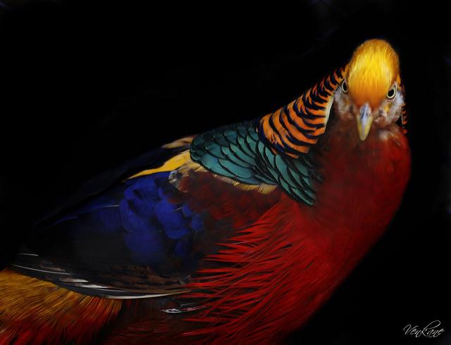 Nevena Uzurov - Golden pheasant