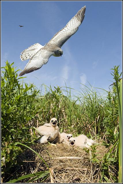 Hawk (Northern Harrier) - 0035