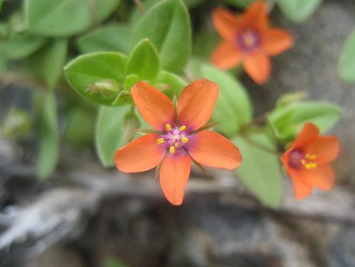 Dainty Orange Wildflowers | by librarygrrrl