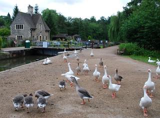 duck duck goose, oxford | by hopemeng