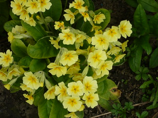Primrose | by brianpettinger
