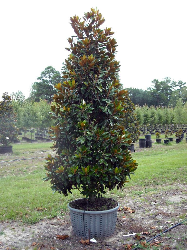 45 Gallon Little Gem Magnolia Coggins Tree Farm Flickr