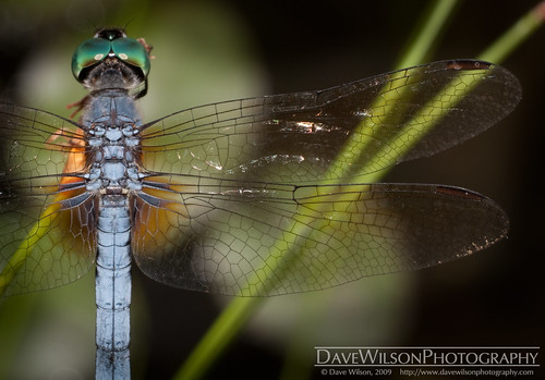 Delicate Wings | by DaveWilsonPhotography
