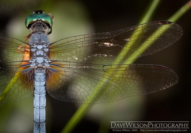 Delicate Wings