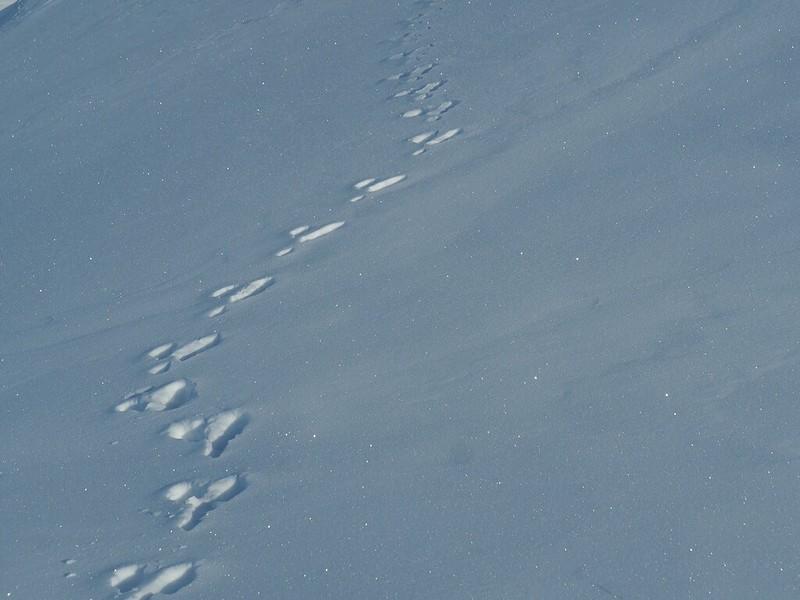 Fresh Tracks. Hare tracks in Vaud, Switzerland