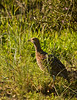 _MG_4956_Grey-winged Francolin by jackie.during