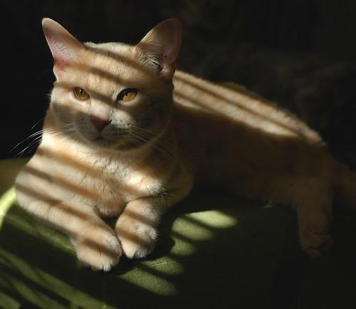 Landry-golden kitty 1 | by Sarah_Jones