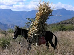 Carrying cornstalks home - Cargando zacate; cerca de San Rafael de las Tablas, Zacatecas, Mexico