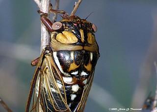 _Silver-Bellied Bush Cicada female 2371.JPG.xcf