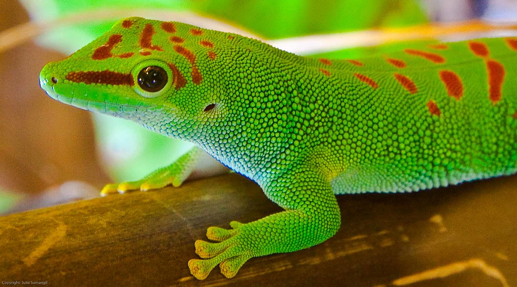 Madagascar Giant Day Gecko | This lizard typically reaches a… | Flickr