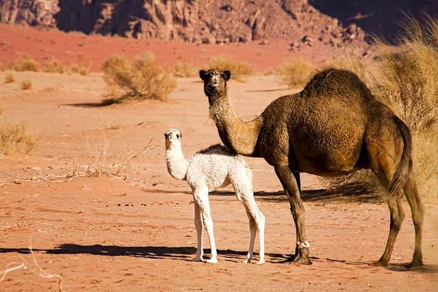 وادي رم (Dromedary baby, Wadi Rum, Jordan)