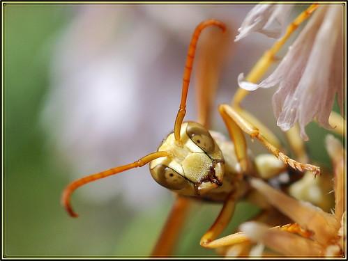 macro face wasp macrolife