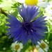 Flickr photo 'Cornflower. Centaurea cyanus' by: gailhampshire.