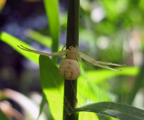 spider kansascity kansas crabspider tonganoxie misumenops flowerspider easternkansas