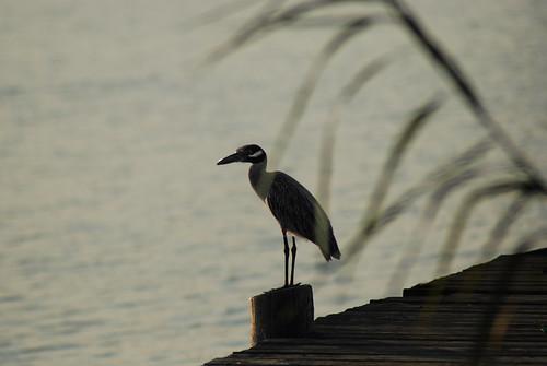 bird heron wildlife waterbird delta causeway trex7000