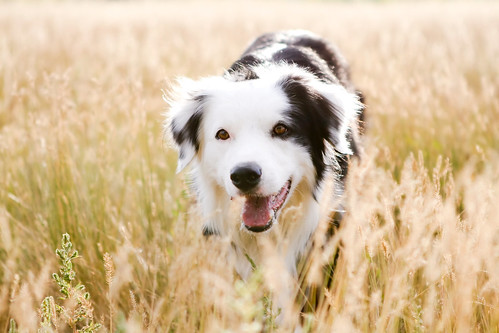 field afternoon explore bordercollie dogpark ouzo canonef2470mmf28lusm cherrycreek lovehim