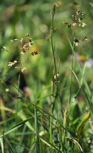 wetsite grass poaceae anthoxanthum anthoxanthumhirtum hierochloeodorata commonsweetgrass perennial bunchgrass habitat inflorescence duckcreekroad coolseason midsummer montana montanemeadow