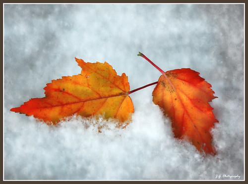 autumn stilllife snow fall texture leaves canon fluffy powder fallen layers legacy pinoak colorphotoaward texturedlayers canoneosdigitalxsi miasbest miasexcellence daarklands flickrvault magicunicornverybest magicunicornmasterpiece trolledproud newgoldenseal kurtpeiserexcellence