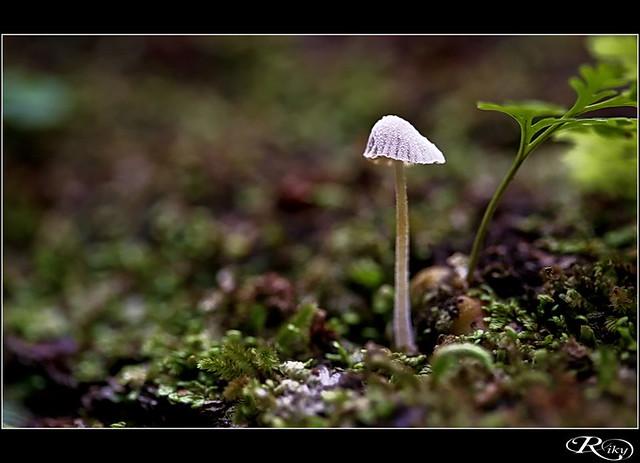 Seta - Mushroom