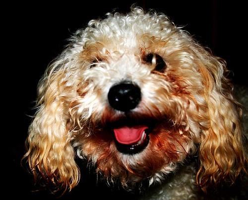 portrait dog cute eye tongue geotagged nose happy fuzzy sweet teeth poodle panting orton toypoodle bigdog geo:lon=83732128 geo:lat=3660844