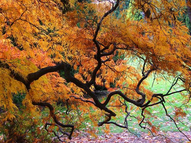 Japanese Maple in Orange Autumn