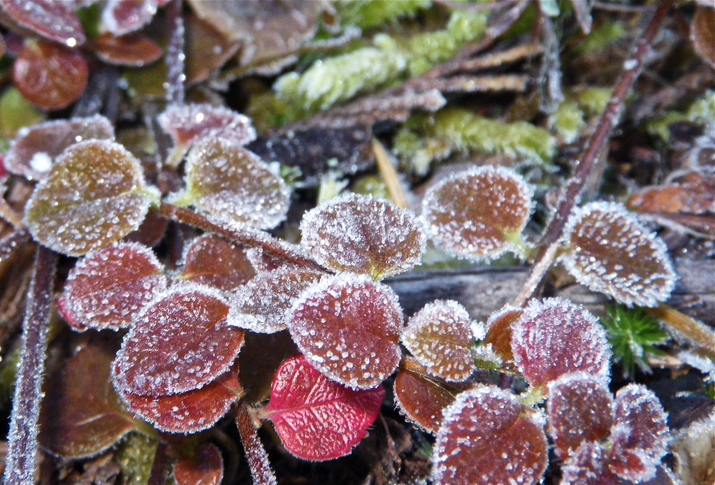 Frost on the forest floor. | Frost building on the plants ...