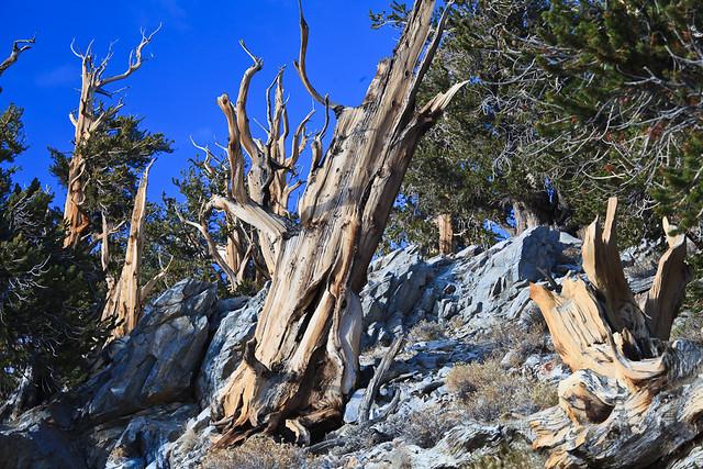 Schuman Grove of Bristlecone Pines