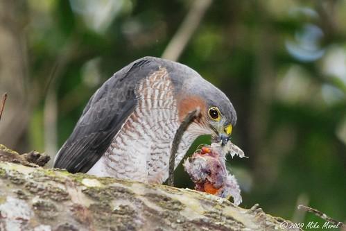 Sharp-shinned Hawk eating prey | by USFWS/Southeast