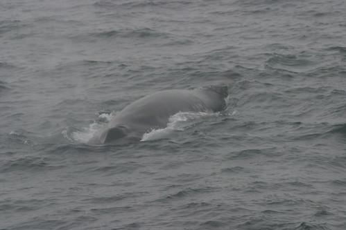 2009 06/19 Fin whale