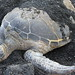 Green Sea Turtle under black beach sand