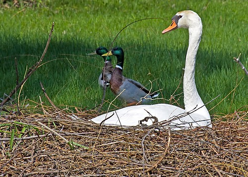 white lake green birds duck swan nest michigan mallard mute muteswan mygearandme