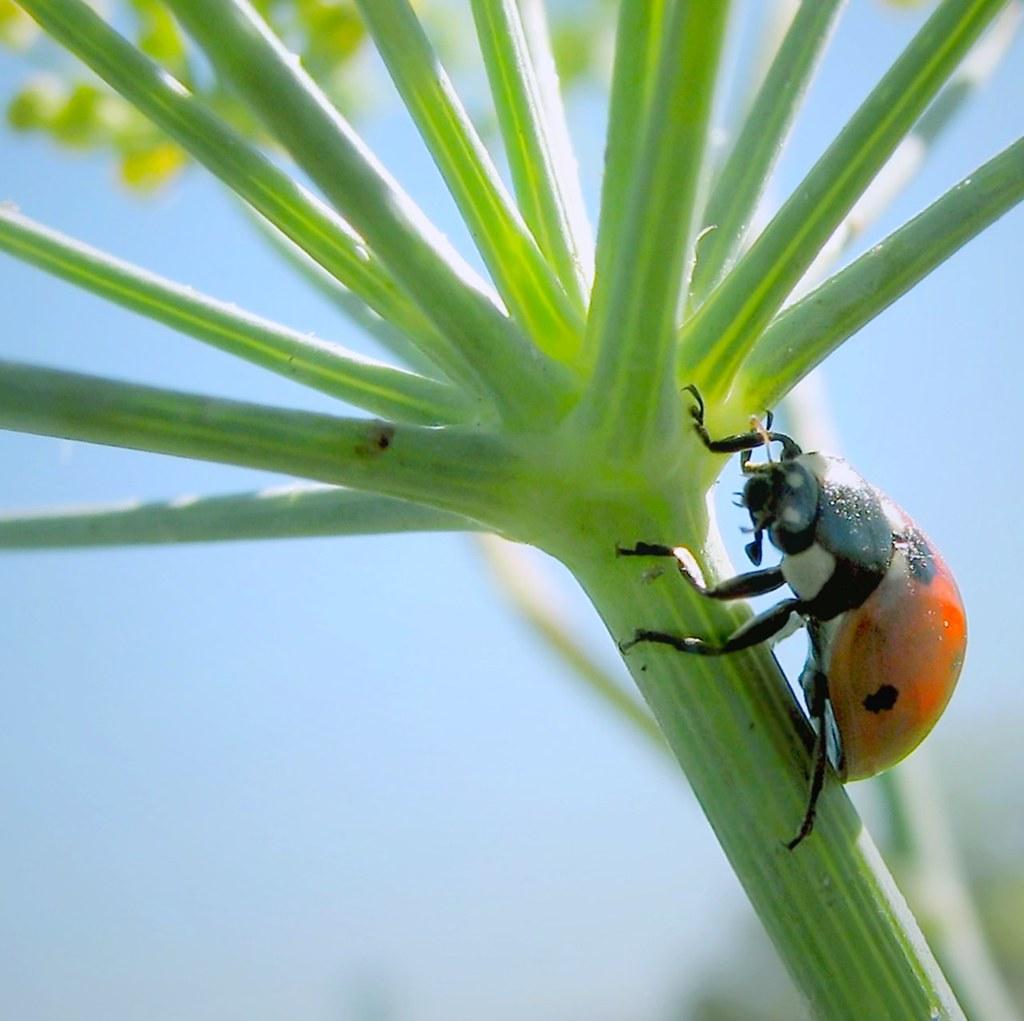 Climbing a fennel stalk