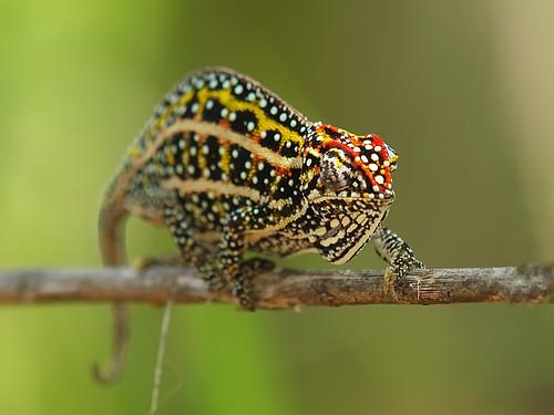 Jewelled chameleon (female)