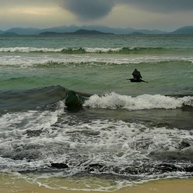 Black bittern passing the coastline