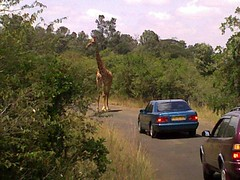 Stuborn Giraffe at Nairobi National park