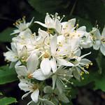 Unohana 卯の花