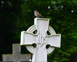 churchyard dunnock