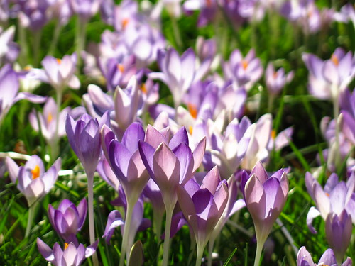Crocuses at Myddelton House Gardens | by Laura Nolte