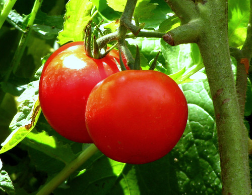 Tomatoes | by Ajith_chatie