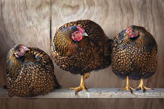 Golden wyandottes-1863-1 | by Kiwi Mikex