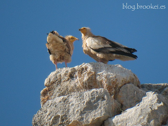 Alimoche (Neophron percnopterus) Egyptian vulture