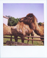 Camels | by sarae