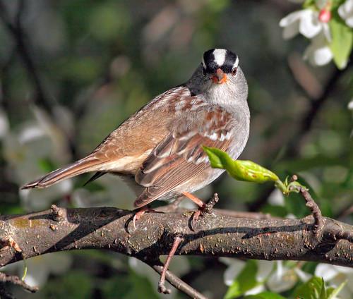wild tree bird nature animal fauna bill michigan wildlife beak sparrow perch ornithology avian whitecrownedsparrow zonotrichialeucophrys theunforgettablepictures vosplusbellesphotos